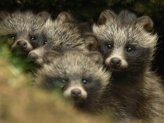 raccoon-dogs1.jpg