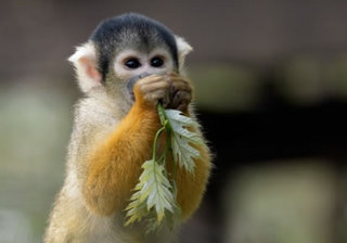 squirrel_monkey1.jpg